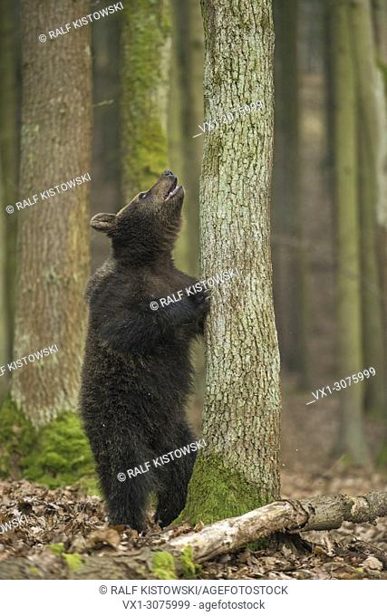 European Brown Bear ( Ursus arctos ) in funny situation stands in front of a tree, looks up a tree, Europe