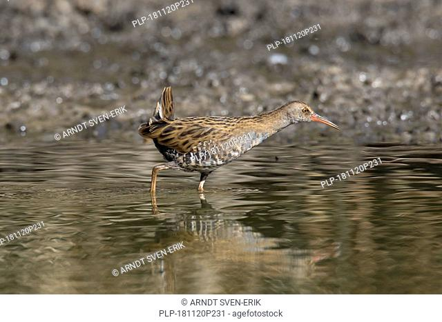 Water rail (Rallus aquaticus) juvenile foraging in shallow water in wetland / marsh / marshland in autumn