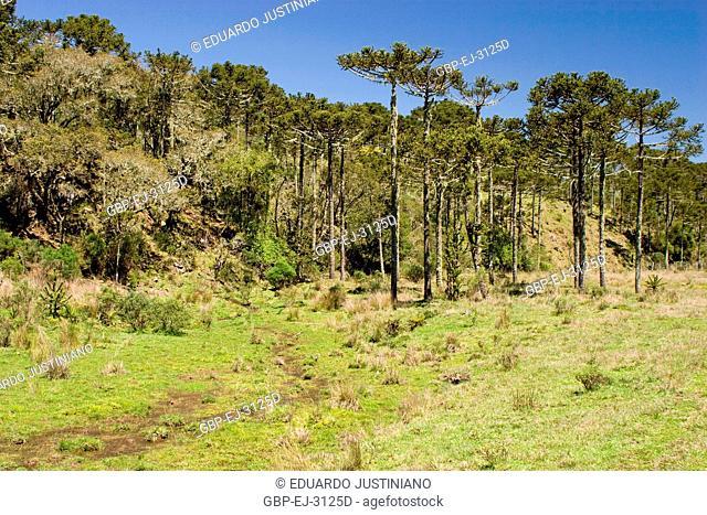 Forest of Araucaria, Pinheiro-pity-paraná (Araucaria angustifolia), São José dos Ausentes, Rio Grande do Sul, Brazil