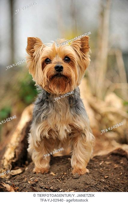 sitting Yorkshire Terrier