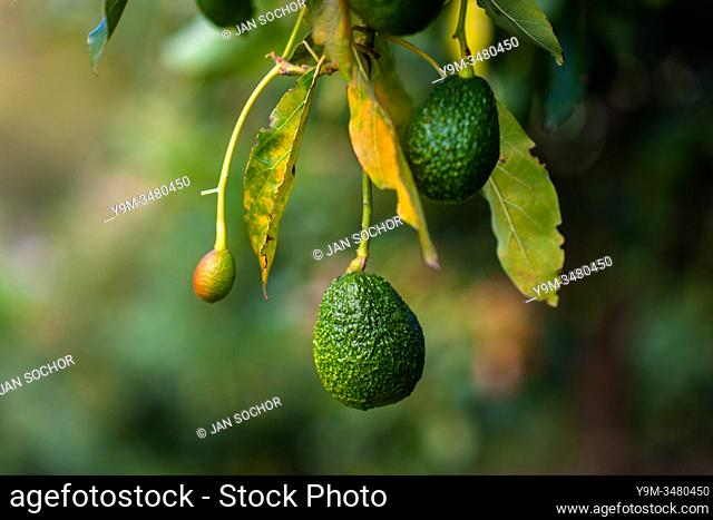 Green avocados are seen growing on a tree at a plantation near Sonsón, Antioquia department, Colombia, 16 October 2019. Over the past decade