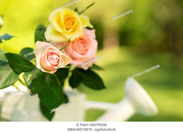 Three pastel tone roses with watering can on a green background, semi shady, outdoors in the garden