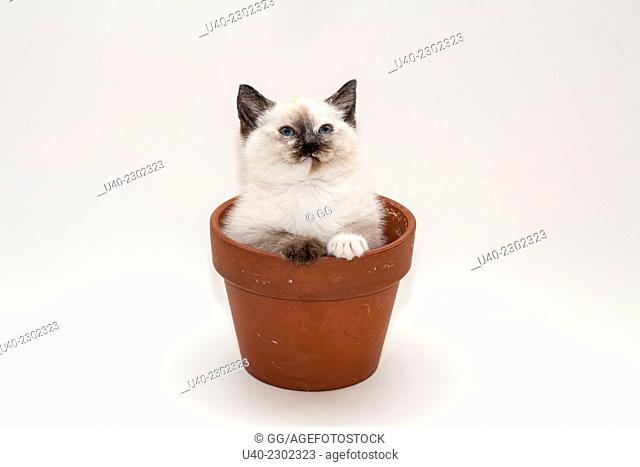 Birman Kitten in flower pot