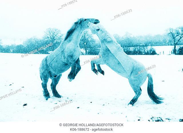 Horses squabbling in snowy field
