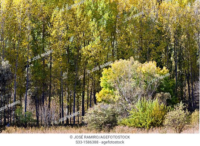 Poplar in the Dulce river gorge  Aragosa  Guadalajara  Castilla la Mancha  Spain