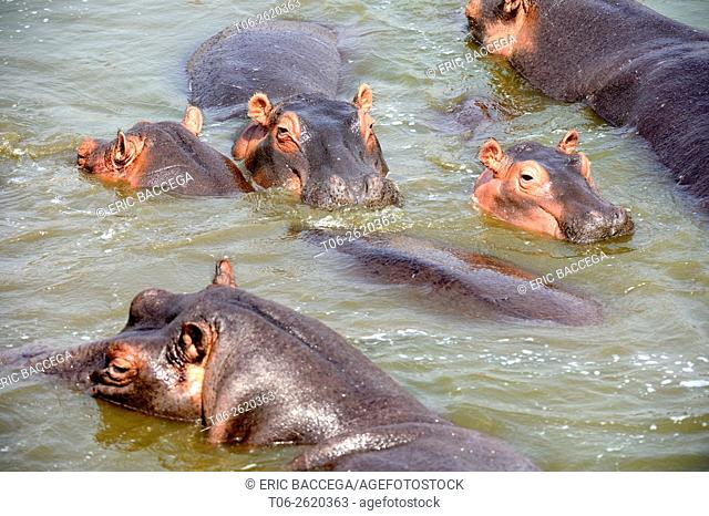 Hippopotamus (Hippopotamus amphibius), group bathing in Lake Edward, Queen Elizabeth National Park, Uganda, Africa