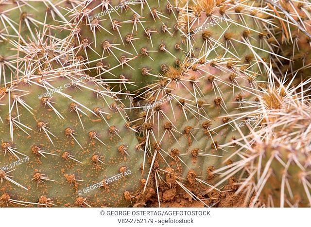 Prickly pear cactus along Mesa Arch Trail, Canyonlands National Park, Utah
