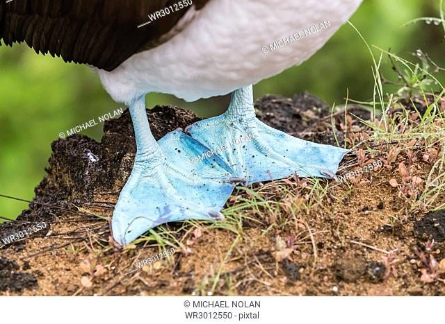 Adult blue-footed booby (Sula nebouxii), feet detail on San Cristobal Island, Galapagos, Ecuador, South America