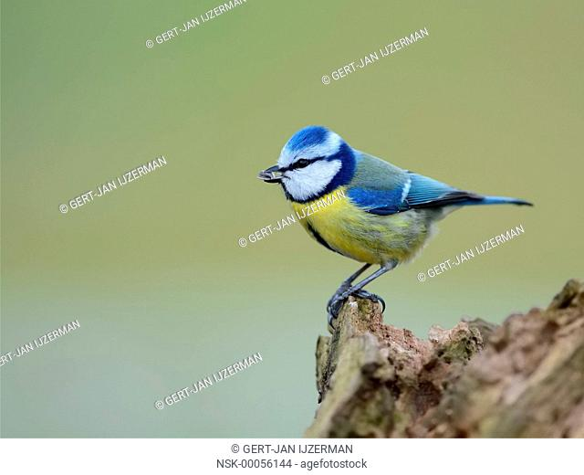 Blue Tit (Cyanistes caeruleus) perched on a tree stump, The Netherlands, Overijssel, Kampereiland