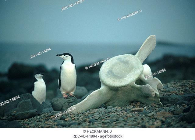 Bearded Pinguins next to whale bone Antarctic Peninsula Antarctica Pygoscelis antarctica