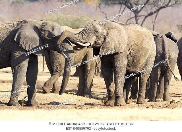 African elephants (loxodonta africana) cuddling, nature reserve in Namibia