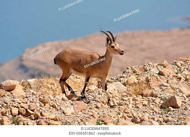Ibex Mountain goats in the Dead Sea, Israel