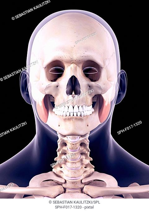 Illustration of the masseter superior muscles