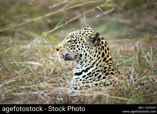Leopard - portrait - Botswana, Africa