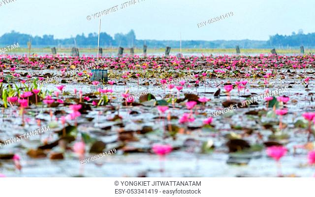 Beautiful nature landscape of many red lotus flowers or Red Indian Water Lily or Nymphaea Lotus in the pond at Thale Noi Waterfowl Reserve Park