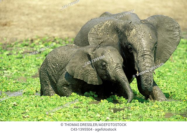 African Elephant Loxodonta africana - Two different aged calves having fun at a waterhole which is covered with Water Lettuce Pistia stratiotes  South Luangwa...