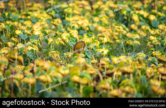 27 August 2020, Brandenburg, Trebbin/Ot Thyrow: A ripe sunflower stretches upwards in a field shortly after leaving the village