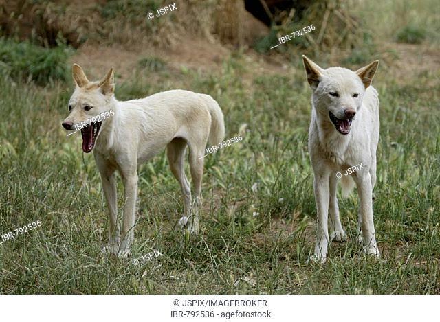 Dingo (Canis lupus dingo), young, pups, yawning, Australia