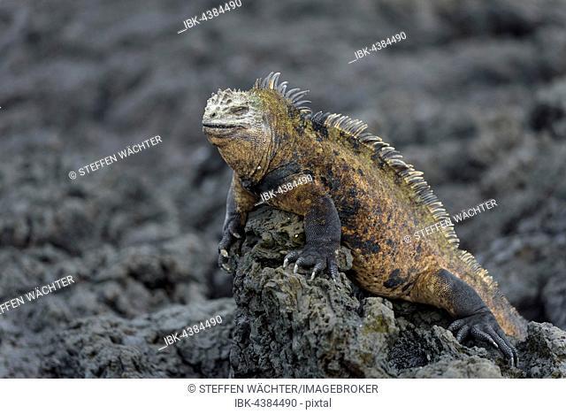 Galápagos marine iguana (Amblyrhynchus cristatus) on lava rock, Isabela Island, Galápagos, Ecuador