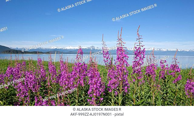 Fireweed blooms along the shoreline at Eagle Beach near Juneau, Southeast Alaska, Summer