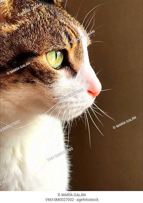 Profile portrait of tabby and white cat. Close view