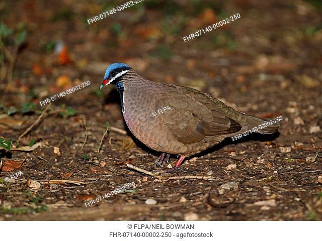 Blue-headed Quail-dove (Starnoenas cyanocephala) adult, walking on forest floor, Zapata Peninsula, Matanzas Province, Cuba, March