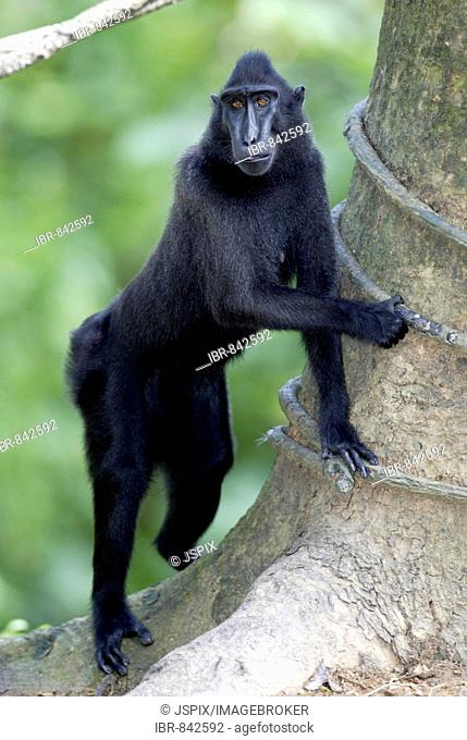 Celebes Crested Macaque or Crested Black Macaque (Macaca nigra), adult, native to Borneo, Celebes