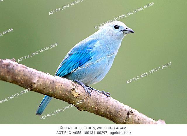 Blue-grey Tanager perched on branch Tobago, Blue-grey Tanager, Thraupis episcopus
