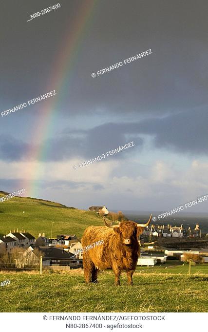 Scottish Highland cows. Banff. Aberdeenshire. Scotland. Europe