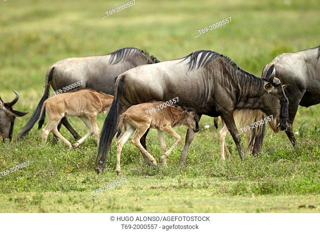 Wildebeest. Nursery. Connochaetes taurinus. Ngorongoro. Tanzania