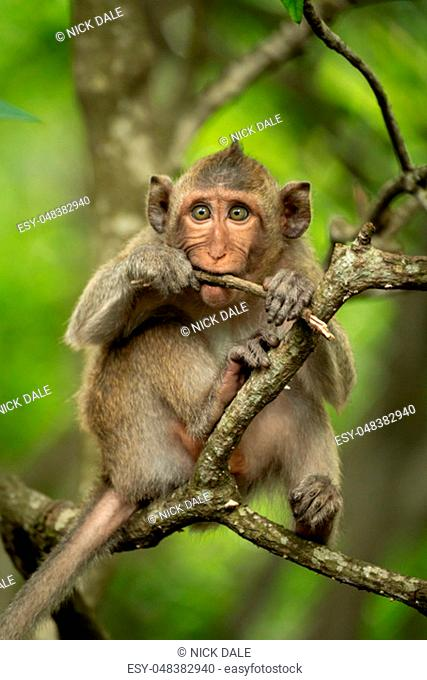 Baby long-tailed macaque on branch biting twig