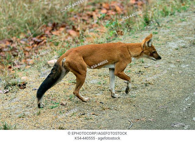 Indian wild dog or Dhole (Cuon alpinus) Kanha National Park, Madhya Pradesh, India