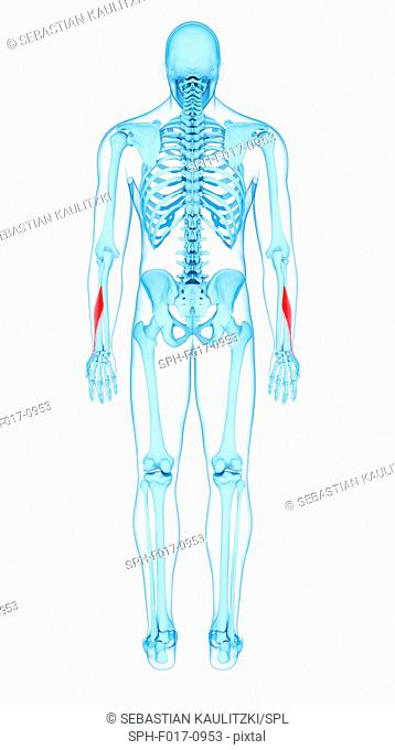 Illustration of the adductor pollicis longus muscles