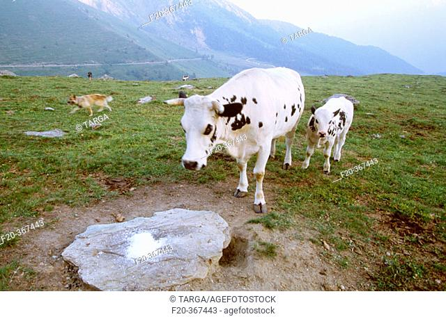 Cows from Ivano Challier farm. Balboutet, Usseaux. Orsiera Rocciavrè Natural Park area, Piedmont, Italy