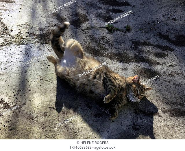 Tabby Cat on Heat Rolling On The Ground