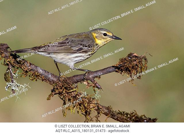 Female Cape May Warbler, Cape May Warbler, Setophaga tigrina