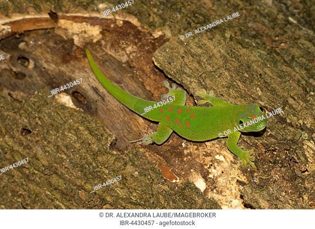 Madagascar giant day gecko (Phelsuma grandis), Nosy Komba, Northwest Coast, Madagascar