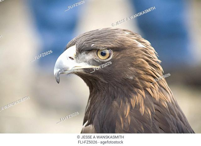 Golden Eagle, Ringling, Montana
