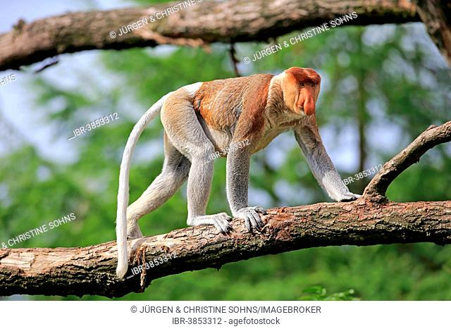 Proboscis Monkey (Nasalis larvatus), male, on tree, Apeldoorn, Netherlands