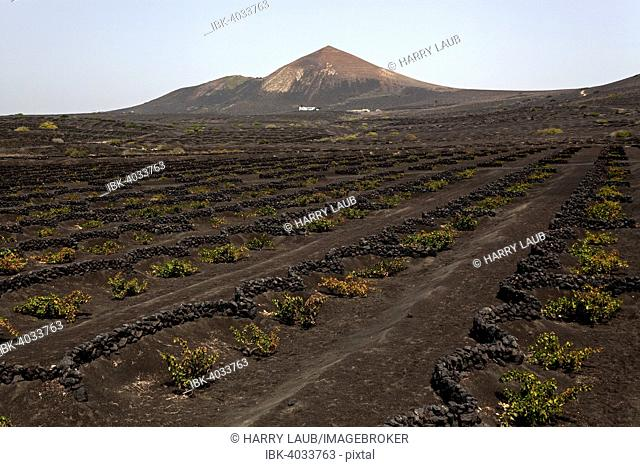 Typical vineyards in dry cultivation in volcanic ash, lava, vines, vineyard La Geria, behind the volcanic mountain GuardiLlama, Lanzarote, Canary Islands, Spain