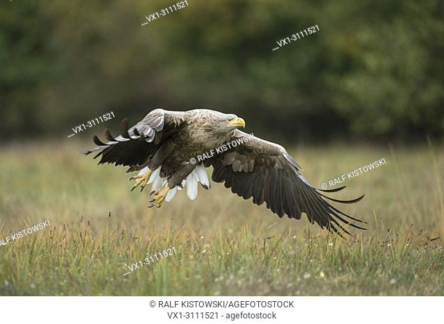 White-tailed Eagle / Sea Eagle / Seeadler ( Haliaeetus albicilla ) takes off from a meadow in autumn, powerful adult, wildlife.