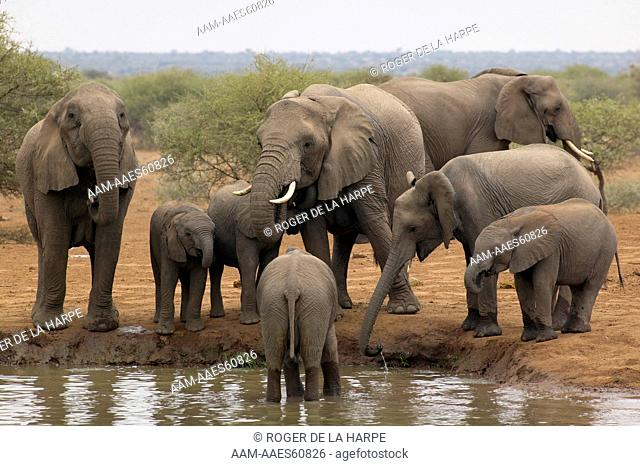 Elephant (Loxodonta africana) cows and calves drinking at waterhole. Northern Tuli Game Reserve. Botswana