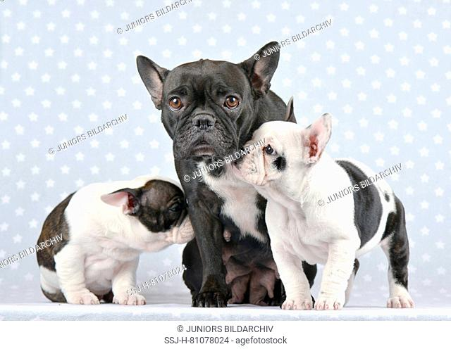 French Bulldog. Two puppies (9 weeks old) with their mother. Studio picture. Germany