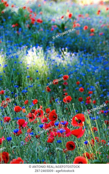 Poppies (Papaver rhoeas), Chequilla, Parque Natural del Alto Tajo, Guadalajara province, Castilla-La Mancha, Spain