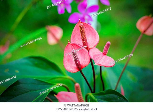 Beautiful spadix flowers in the garden