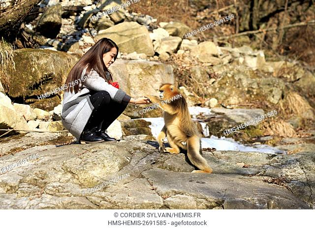 China, Shaanxi province, Qinling Mountains, Golden Snub-nosed Monkey (Rhinopithecus roxellana) and a tourist