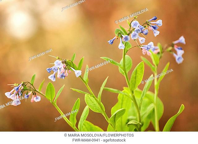 Virginia Bluebell, Mertensia virginica with branched stems of clustered, funnel-shaped blue and violet coloured flowers
