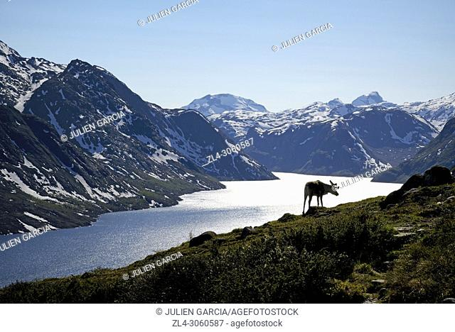 Norway, Oppland, Vaga, Jotunheimen National Park, Besseggen Ridge, reindeer in fromt of the Lake Gjende