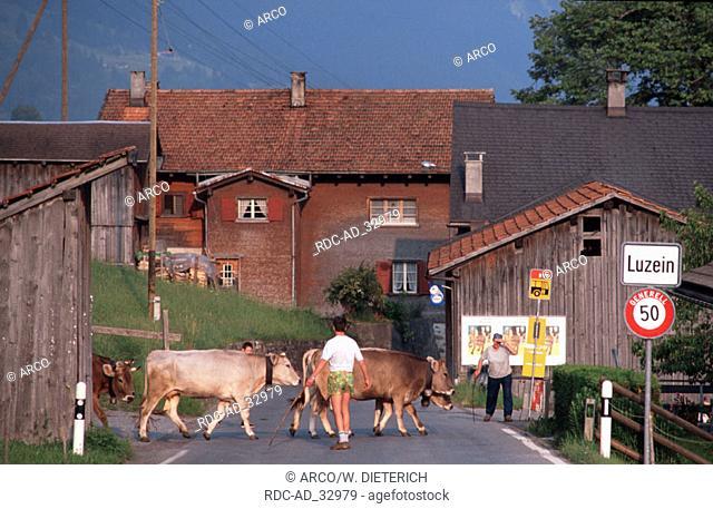 Cattle crossing road Luzein Graubunden Switzerland