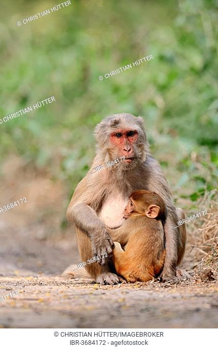 Rhesus Macaque or Rhesus Monkey (Macaca mulatta), female suckling an infant, Keoladeo National Park, Bharatpur, Rajasthan, India